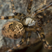 Shaded Orbweaver - Photo (c) alphis, some rights reserved (CC BY-NC)