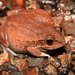 Main's Frog - Photo (c) Alexandre Roux, some rights reserved (CC BY-NC)