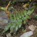 Mexican Flowering Fern - Photo (c) CARLOS VELAZCO, some rights reserved (CC BY-NC), uploaded by Carlos G Velazco-Macias