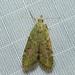 Heteromicta poeodes - Photo (c) dhfischer, algunos derechos reservados (CC BY-NC)
