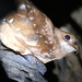 Oilbirds - Photo (c) Alastair Rae, some rights reserved (CC BY-SA)