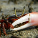 Ghost and Fiddler Crabs - Photo (c) Vishal Bhave, some rights reserved (CC BY-NC-SA)