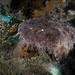 Eucrossorhinus - Photo (c) Teresa Mallard, some rights reserved (CC BY-NC)