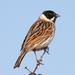 Reed Bunting - Photo (c) Mark Kilner, some rights reserved (CC BY-NC-SA)