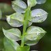 Plagiomnium cuspidatum - Photo (c) Vladimir Bryukhov,  זכויות יוצרים חלקיות (CC BY-NC)