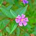 Melastoma malabathricum - Photo (c) Kinmatsu Lin, algunos derechos reservados (CC BY-NC)