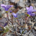 Showy Gilia - Photo (c) sea-kangaroo, some rights reserved (CC BY-NC-ND)
