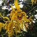 Cyrtochilum auropurpureum - Photo (c) leonzo01, some rights reserved (CC BY-NC)