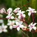 Scrambling Clerodendrum - Photo (c) 葉子, some rights reserved (CC BY-NC-ND)