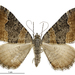 Dark-banded Carpet Moth - Photo (c) Landcare Research New Zealand Ltd., some rights reserved (CC BY)
