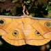 Antheraea paphia - Photo (c) Dean Morley, algunos derechos reservados (CC BY-ND)