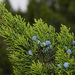 Ashe Juniper - Photo (c) psilocyb3_, some rights reserved (CC BY-NC)