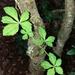 Cissus striata - Photo (c) Diego Alarcón, μερικά δικαιώματα διατηρούνται (CC BY-NC)