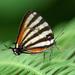 Arawacus togarna - Photo (c) Karl Kroeker, algunos derechos reservados (CC BY-NC)