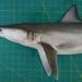 Tiburón Trompudo - Photo (c) Balazs Buzas, algunos derechos reservados (CC BY-NC-ND)