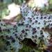 Yarrumia coronata - Photo (c) ccgibbons, alguns direitos reservados (CC BY-ND)
