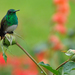 Snowy-bellied Hummingbird - Photo (c) Drriss, some rights reserved (CC BY-NC-SA)