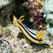 Chromodoris quadricolor - Photo (c) Bernat Garrigós, μερικά δικαιώματα διατηρούνται (CC BY-NC)