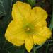 Calabacita Amarilla - Photo (c) Botswanabugs, algunos derechos reservados (CC BY-NC)