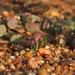 Euphorbia cristata - Photo (c) Siddarth Machado, some rights reserved (CC BY-NC)