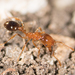 Southern Fire Ant - Photo no rights reserved