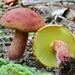 Baorangia bicolor - Photo (c) Fluff Berger, algunos derechos reservados (CC BY-SA)