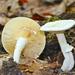 Lactarius subvernalis cokeri - Photo (c) Fluff Berger, μερικά δικαιώματα διατηρούνται (CC BY-SA)