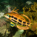 Heteroscarus acroptilus - Photo (c) John Turnbull, algunos derechos reservados (CC BY-NC-SA), uploaded by Marine Explorer (John Turnbull)