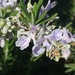 Rosemary - Photo (c) Giuseppe Buscemi, some rights reserved (CC BY-NC)