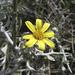 Osteospermum incanum - Photo (c) botanicexpedition2019nl-saf,  זכויות יוצרים חלקיות (CC BY-NC-ND)