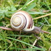 White-lipped Snail - Photo (c) jerry2018, some rights reserved (CC BY-NC)
