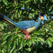 Great Blue Turaco - Photo (c) Nik Borrow, some rights reserved (CC BY-NC)