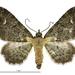 Pasiphila testulata - Photo (c) Landcare Research New Zealand Ltd., algunos derechos reservados (CC BY)