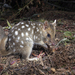 Eastern Quoll - Photo (c) Brett Vercoe, some rights reserved (CC BY-NC)