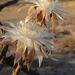Peniocereus greggii - Photo (c) southwestwanderer, osa oikeuksista pidätetään (CC BY-NC)