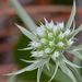 Eryngium aromaticum - Photo (c) James Duggan, algunos derechos reservados (CC BY-SA)