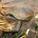 Tortuga Pecho Quebrado Sonorense - Photo (c) asper, algunos derechos reservados (CC BY-NC)