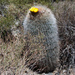 Lobivia formosa - Photo (c) Martin Lowry, alguns direitos reservados (CC BY-NC)