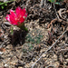 Lobivia arachnacantha - Photo (c) Martin Lowry, μερικά δικαιώματα διατηρούνται (CC BY-NC)