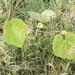 Uva Isabelina - Photo (c) Gwyneth Govers, algunos derechos reservados (CC BY-NC)