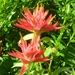 Giant Red Indian Paintbrush - Photo (c) J Brew, some rights reserved (CC BY-SA)