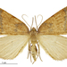 Sestra humeraria - Photo (c) Landcare Research New Zealand Ltd.,  זכויות יוצרים חלקיות (CC BY)