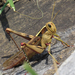 Acanthacris ruficornis - Photo (c) Joachim Louis, μερικά δικαιώματα διατηρούνται (CC BY-NC-ND)