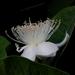 Guavas - Photo (c) Satish Nikam, some rights reserved (CC BY-NC-SA)