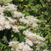 Wax-leaf Ligustrum - Photo (c) 山羌, some rights reserved (CC BY-NC)