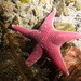 Antarctic Starfish - Photo (c) Cristian Lagger, some rights reserved (CC BY-NC)