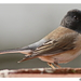 Alaskan Oregon Junco - Photo (c) Alison Sheehey, some rights reserved (CC BY-NC-ND), uploaded by Nature Ali