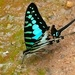 Small Striped Swordtail - Photo (c) Bernard DUPONT, some rights reserved (CC BY-NC-SA)