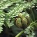 Monachosorum henryi - Photo (c) mitrastemon,  זכויות יוצרים חלקיות (CC BY-NC)