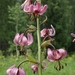 Lilium martagon pilosiusculum - Photo (c) Mihail Knjasev,  זכויות יוצרים חלקיות (CC BY-NC)